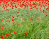 Fine Art Nature Photography Print poppies in the wind
