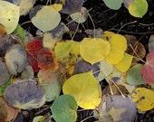 Fallen Aspen Leaves, Yosemite,  Ultrachrome K3 Archival Print