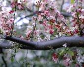 Apple Blossoms, Ca.,  Ultrachrome K3 Archival Print