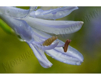 Blue Agapanthus - Matted photograph of an agapanthus blossom.