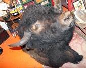 Taxidermy Buffalo Shoulder Mount