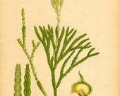 Antique 1905 Botanical Book Page Lycopodium Complanatum L. (Ground Cedar)