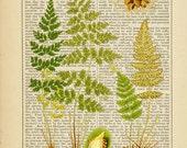 Bladder Fern Botanical Print on Antique 1895 Encyclopedia Page