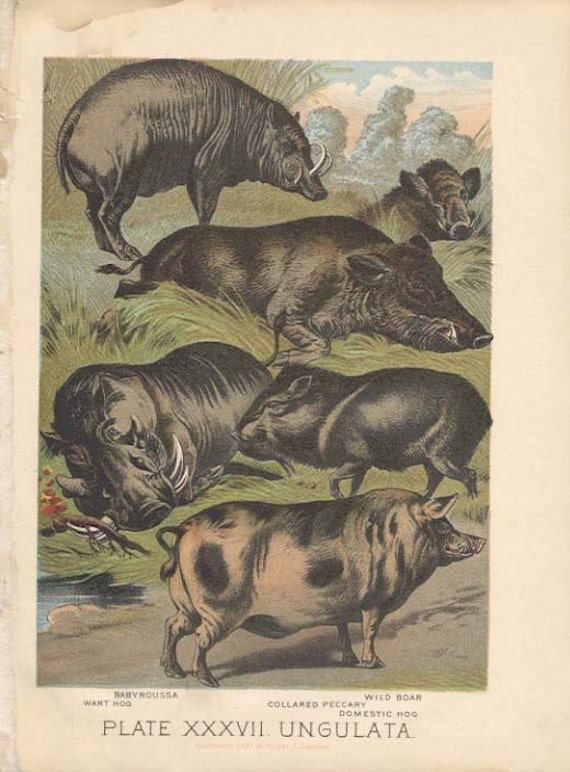 HOG BOAR  Antique Book 1897 Plate XXXVII