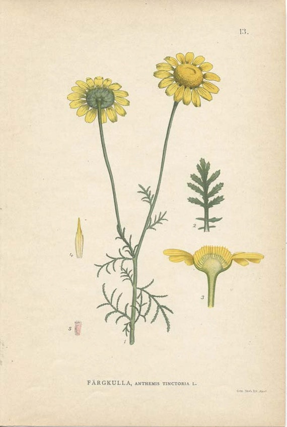 ANTIQUE  1905 BOTANICAL Book Page Anthemis Tinctoria (Yellow Chamomile)