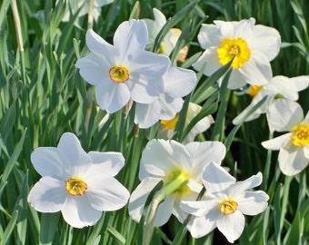 Narcissus in April, Garden at the Ashland Estate, Lexington, KY, 5 x 7 fine art photo, signed