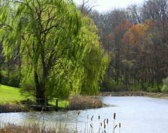 Willow Tree and Pond, Lewisburg, West Virginia, April 2011--8 x 10 fine art photo