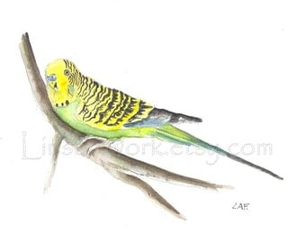 Original watercolor painting or Limited Edition Print of a Budgy, Budgerigar watercolor.