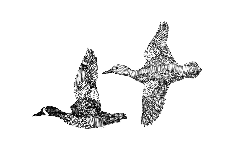 Mallard Flying Drawing