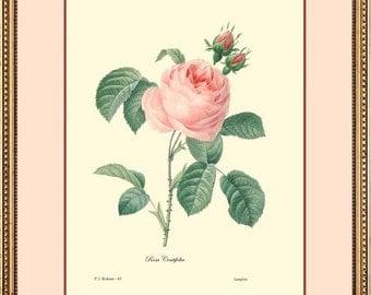 ROSE - Botanical fine art 9x12 print reproduction -  1010