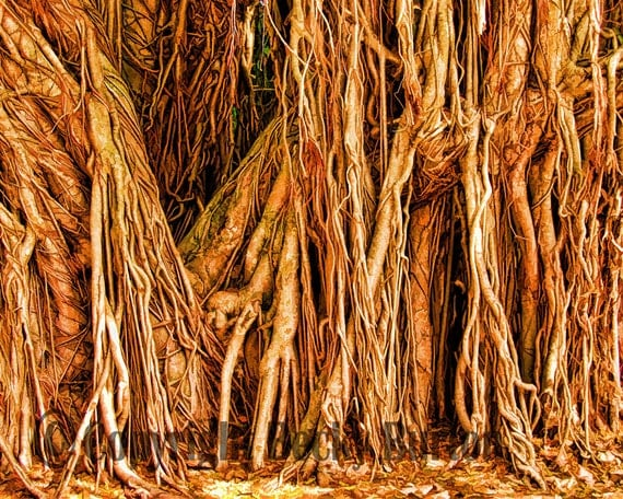 Tree Root Wall Decor : Items similar to banyan tree photographic print