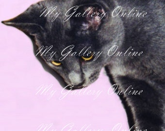 Golden Eyed Grey Cat on Pink 8x6 Photograph