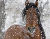 Snow Stallion - Fine Art Horse Photograph - Horse - Snow - Andalusian