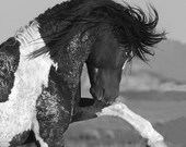 Black and White Stallion Strikes Out - Fine Art Wild Horse Photography - Wild Horse - Washakie - Black and White