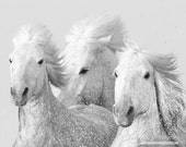 Three White Horses - Fine Art Horse Photography - Horse - Black and White