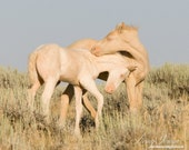 Cremello Colts Playing - Fine Art Wild Horse Photograph - Wild Horse - Cremello Colts