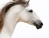White Stallion Runs - Fine Art Horse Photograph - Horse - Andalusian