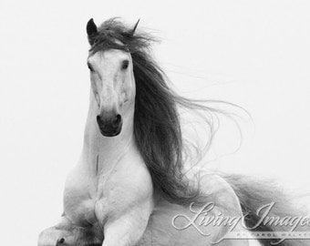 Stallion's Glory - Fine Art Horse Photograph - Horse - Black and White - Andalusian - Fine Art Print