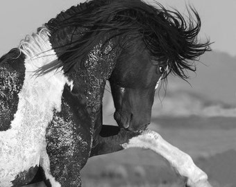 Black and White Stallion Strikes Out - Fine Art Wild Horse Photography - Wild Horse - Washakie - Black and White