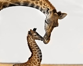 Giraffe's First Kiss - Fine Art Wildlife Photograph - Giraffe - Africa