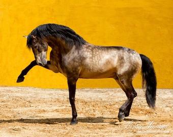Lusitano Stallion - Fine Art Horse Photography - Horse - Lusitano - Fine Art Print