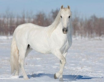 White Snow Stallion - Fine Art Horse Photograph - Horse - Snow - Andalusian