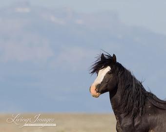 Wild Black Stallion Looks - Fine Art Wild Horse Photograph - Wild Horse - Horse Art