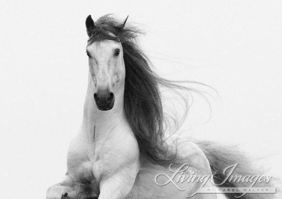 Stallion's Glory - Fine Art Horse Photograph - Horse - Black and White - Andalusian - Fine Art Print