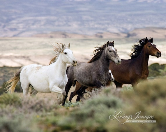 Three Mares Running Fine Art Wild Horse Photograph Wild