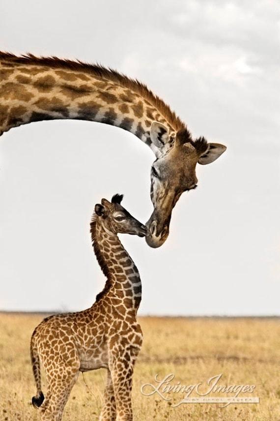 Giraffe's First Kiss - Fine Art Wildlife Photograph - Giraffe - Africa