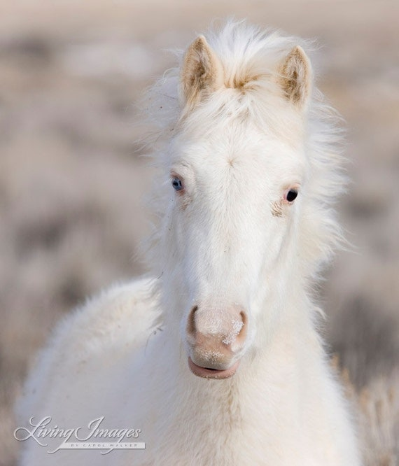 Snow Colt - Fine Art Wild Horse Photograph - Wild Horse - Cremello Colt - Winter - McCullough Peaks