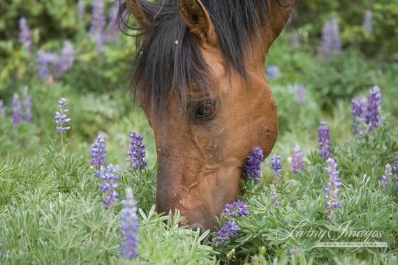 Shamen in the Lupine - Fine Art Wild Horse Photograph - Wild Horse - Shamen