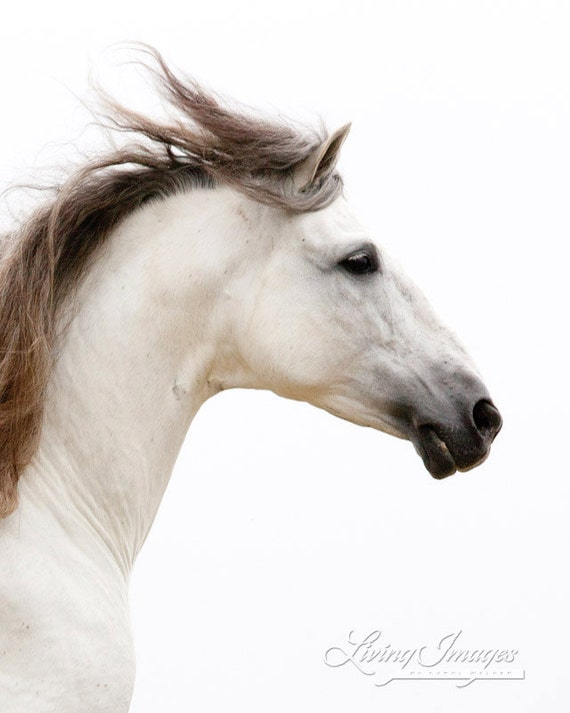 White Stallion Runs - Fine Art Horse Photograph - Horse - Andalusian - Fine Art Print