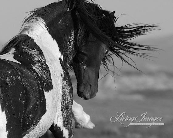 Black and White Stallion Strikes - Fine Art Wild Horse Photograph - Wild Horse - Washakie
