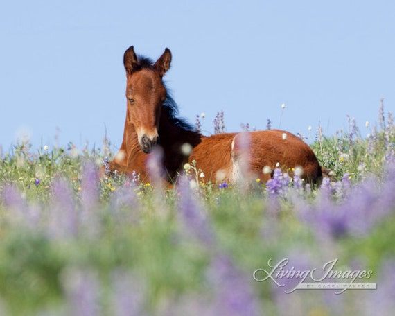 Sleeping in the Flowers - Fine Art Wild Horse Photograph - Wild Horse - Pryor Mountains - Fine Art Print