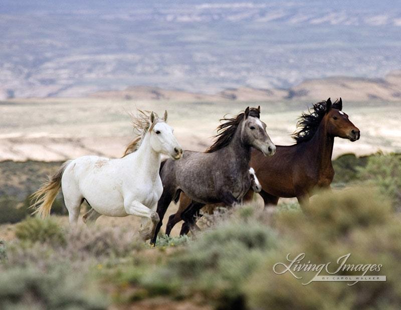 Three Mares Running Fine Art Wild Horse Photograph Wild
