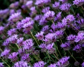 Sea of Purple - 11 x 14 Fine Art Photographic Print