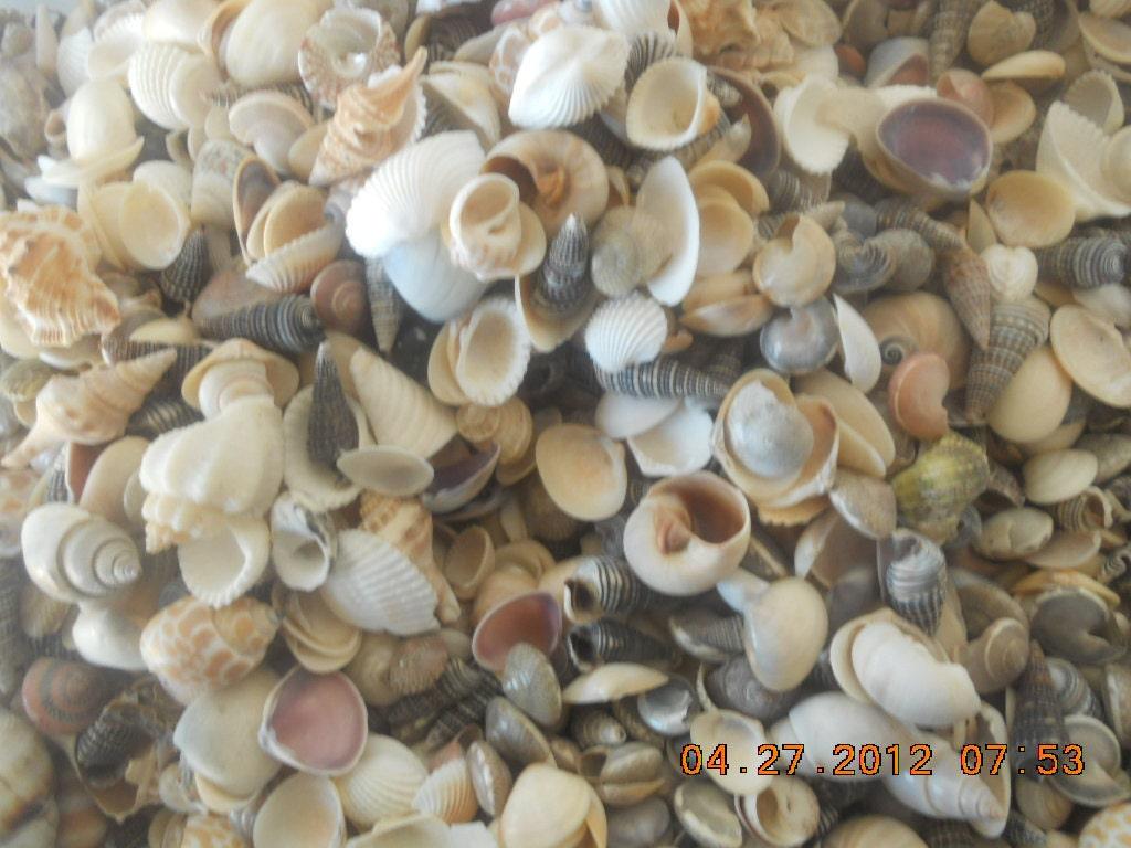 Indian Ocean Sea Shell Mix Assorted Small Sea Shells Craft