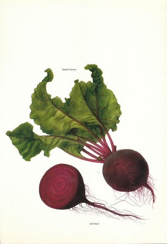 Vintage 1960s Basal Beet Color Illustration Book Page to frame