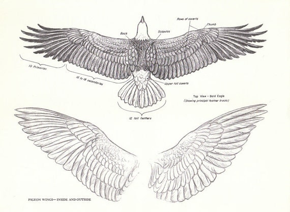 vintage eagle pigeon wings book page from the 1940s