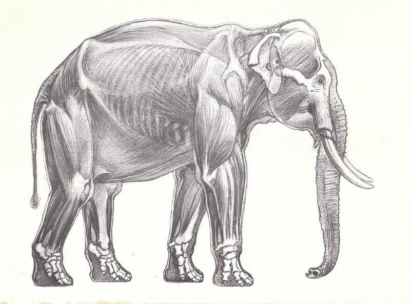 Elephant Heart Diagram