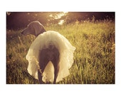 ballerina weimaraner photograph - original fine art photography, dog, sunkissed, sunset, tutu, tulle - 8x10