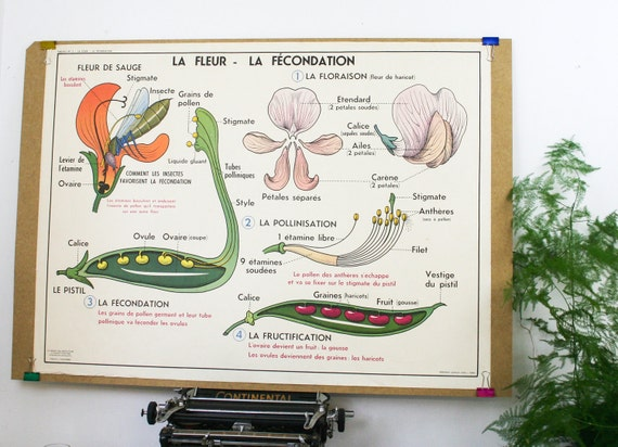 Vintage Botanical Chart French School Map, Double Sided Flowers and Fertilization