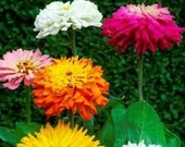 CLEARANCE SALE! Heirloom Zinnias Cactus Flower Cutting Garden Cottage Garden Custom Mix Rare Seeds