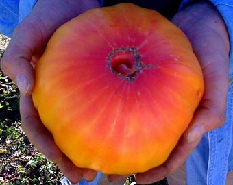 PINEAPPLE BEEFSTEAK Organic Heirloom Tomato Seeds