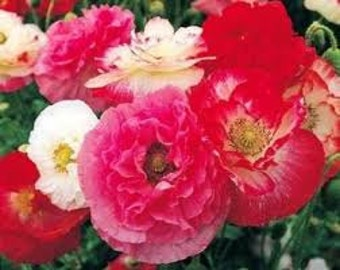 SALE Heirloom Shirley Poppy Doubles Mix