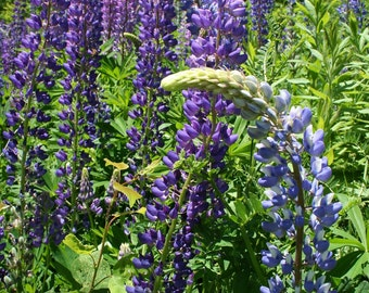 "SALE! Bent Lupine -  5 x 7"" color print, flowers, spring, summer, purple, Maine"