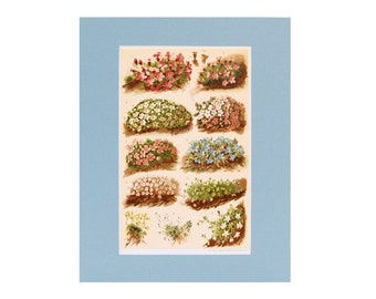 Cushion Alpine Plants Print - 1904 Chromolithograph