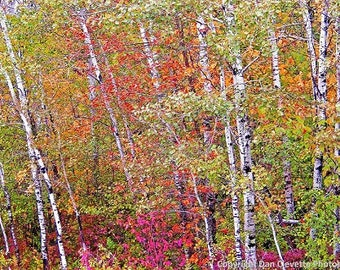 "Red, Yellow, Orange, Autumn Birch Trees, Nature, Landscape, Photography, Photo, Print, ""Birch Trees"""