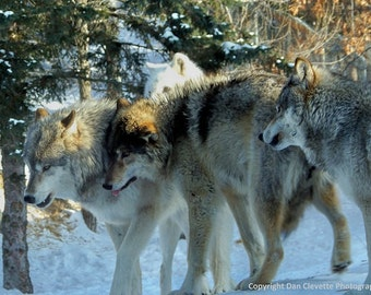 "Gray Wolf, Animal Photography, Timberwolf, Winter, Wildlife, Nature, Photo, Print, ""Running With the Pack"""